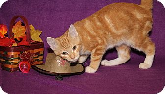 Domestic Shorthair Cat for adoption in Marietta, Ohio - Stitch (Neutered)