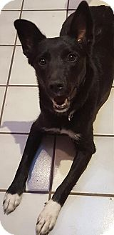Shepherd (Unknown Type) Mix Dog for adoption in Las Cruces, New Mexico - Cheerio