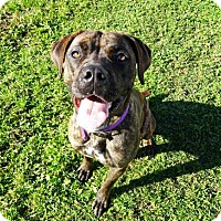 Bullmastiff Mix Dog for adoption in Belleville, Michigan - Nadia