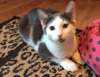 Domestic Shorthair Cat for adoption in McKinney, Texas - Lily - Courtesy Listing