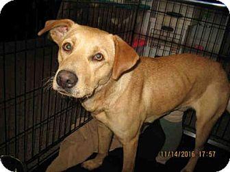 Labrador Retriever/Golden Retriever Mix Dog for adoption in Lathrop, California - GINGER