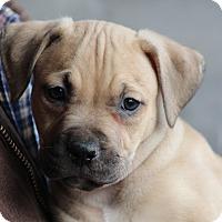 Adopt A Pet :: Dino - Glastonbury, CT
