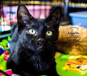Domestic Shorthair Kitten for adoption in Mooresville, North Carolina - A..  Dustin