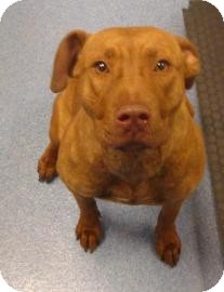 Pit Bull Terrier Mix Dog for adoption in Gainesville, Florida - Winny