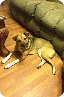 Basenji Mix Dog for adoption in Knoxville, Tennessee - SugarBaby