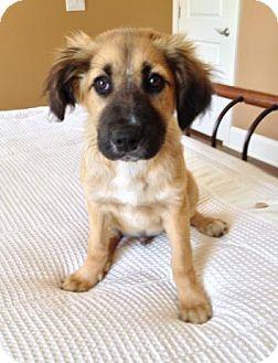 German Shepherd Dog/Labrador Retriever Mix Puppy for adoption in North Brunswick, New Jersey - Aspen