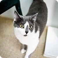 Domestic Shorthair Cat for adoption in Belleville, Michigan - Tonya