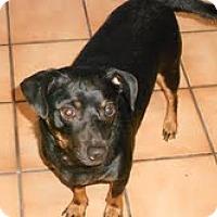 Adopt A Pet :: Scrappy - Las Vegas, NV