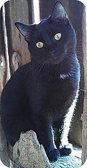 Domestic Shorthair Cat for adoption in Brighton, Missouri - Sookie