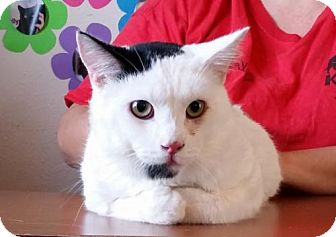 Domestic Shorthair Cat for adoption in Lemoore, California - Deacon
