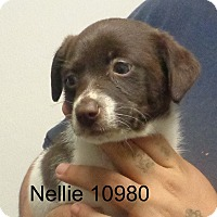 Adopt A Pet :: Nellie - baltimore, MD