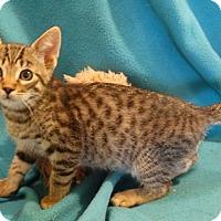 Adopt A Pet :: Sherakann - Vacaville, CA