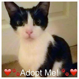 Domestic Shorthair Cat for adoption in Tampa, Florida - Bella