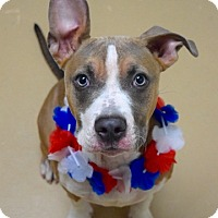 Adopt A Pet :: Amelia - Dublin, CA