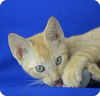 Domestic Shorthair Kitten for adoption in LAFAYETTE, Louisiana - GATSBY