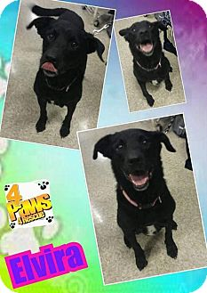 Labrador Retriever Dog for adoption in Fenton, Missouri - Elvira