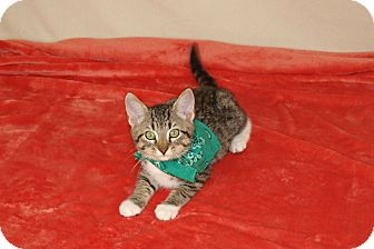 Domestic Shorthair Kitten for adoption in Jackson, Mississippi - Tobias