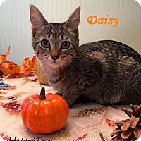 Adopt A Pet :: Daisy - Loves belly rubs! - Huntsville, ON