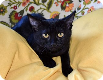 Domestic Shorthair Kitten for adoption in Bristol, Connecticut - Sookie