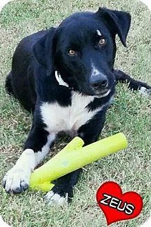 Border Collie/Labrador Retriever Mix Dog for adoption in Elgin, Oklahoma - Zeus