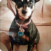 Miniature Pinscher Dog for adoption in Antioch, California - Coco