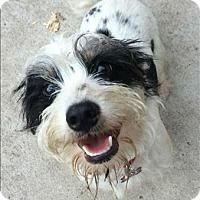 Adopt A Pet :: Odie - Encino, CA