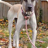 Great Dane/Black Mouth Cur Mix Dog for adoption in Norwalk, Connecticut - Gus