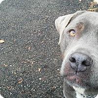Adopt A Pet :: Bella - Ringwood, NJ