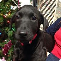 Adopt A Pet :: Coffee Bean - FOSTER, RI