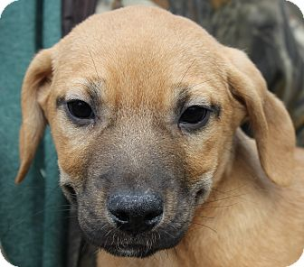 Shepherd (Unknown Type)/Boxer Mix Puppy for adoption in Colonial Heights, Virginia - Jax