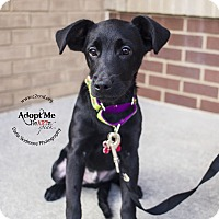 Labrador Retriever/Terrier (Unknown Type, Medium) Mix Puppy for adoption in Mooresville, North Carolina - Gomez (Addams Family Litter)