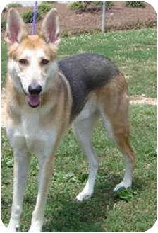 German Shepherd Dog/Greyhound Mix Dog for adoption in Greensboro ...