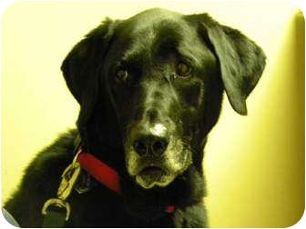Labrador Retriever Dog for adoption in Hagerstown, Maryland - CHASE