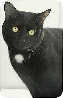 Domestic Shorthair Cat for adoption in Lake Arrowhead, California - Kiki