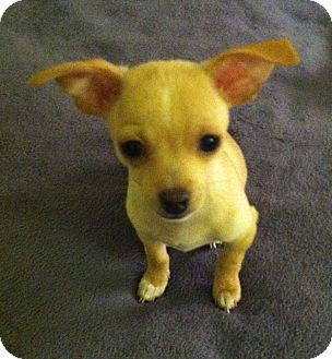Chihuahua Mix Puppy for adoption in San Diego, California - Mark
