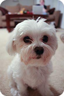 Maltese Dog for adoption in Omaha, Nebraska - Bruno