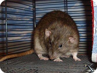 Rat for adoption in Greenwood, Michigan - Samuel