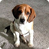 Adopt A Pet :: Beagle Boy - Novi, MI