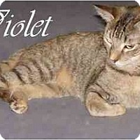 Domestic Shorthair Cat for adoption in Garland, Texas - Violet