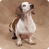 Adopt A Pet :: Luke Skywalker - Sioux Falls, SD