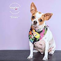 Chihuahua Dog for adoption in Houston, Texas - Ernie aka Bebe
