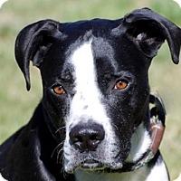 Adopt A Pet :: Hulk a.k.a. Harley - Portola, CA