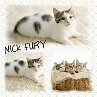 Adopt A Pet :: Nick Fury - DOVER, OH