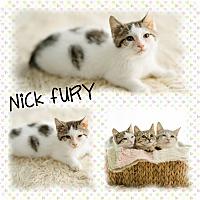 Domestic Shorthair Kitten for adoption in DOVER, Ohio - Nick Fury