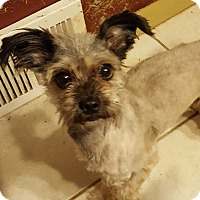 Lhasa Apso Mix Dog for adoption in Rockford, Illinois - Scooby