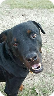 Rottweiler Dog for adoption in Gilbert, Arizona - Murphy