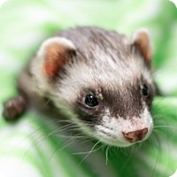 Ferret for adoption in Balch Springs, Texas - Niven