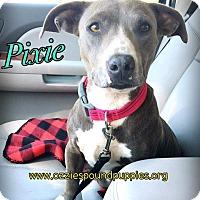 Adopt A Pet :: Pixie - Concord, CA