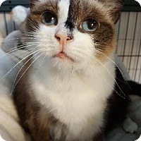 Ragdoll Cat for adoption in Freeport, New York - Moo Moo