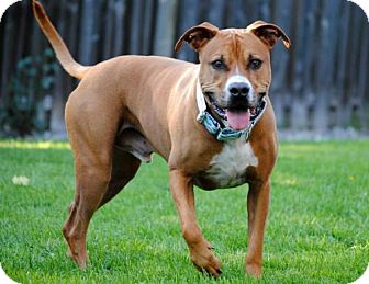 Pit Bull Terrier Mix Dog for adoption in Fargo, North Dakota - Barley